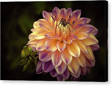 Canvas Print featuring the photograph Dahlia In Peach And Lavender by Julie Palencia