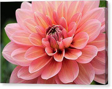 Canvas Print featuring the photograph Dahlia In Pink And Peach by Julie Palencia