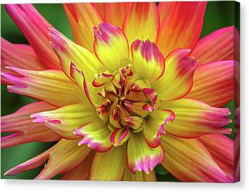 Dahlia Canvas Print by Juergen Roth