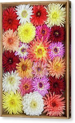 Dahlia Pattern Canvas Print by Tim Gainey