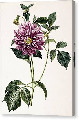 Horticultural Canvas Print - Dahlia Rosea by Honore Blanc