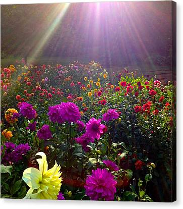 Dahlias Kissed By Sun-rays  Canvas Print