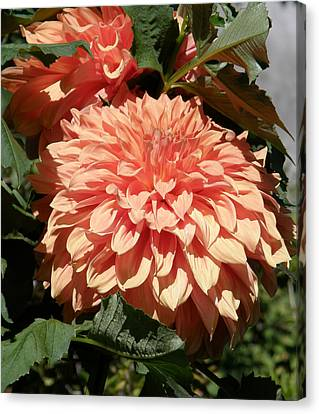 Canvas Print featuring the photograph Dahlias Photo by Judy Mercer