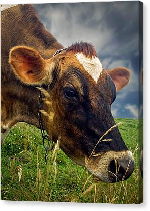 Dairy Cow Eating Grass Canvas Print by Bob Orsillo
