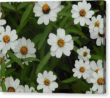 Daisies Canvas Print by Frank Wickham