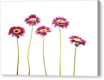 Canvas Print featuring the photograph Daisies In A Row by Rebecca Cozart
