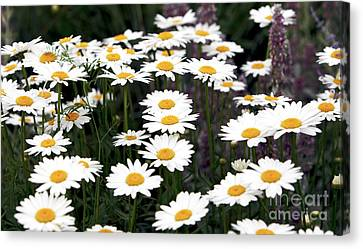 Daisies Canvas Print by John Rizzuto
