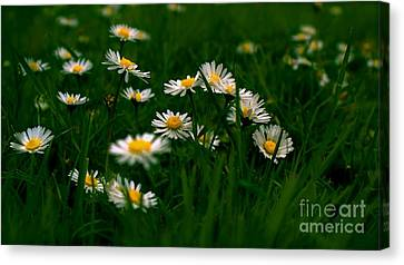 Canvas Print featuring the photograph Daisies by Louise Fahy