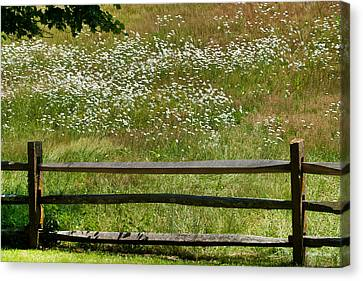 Daisies On The Vineyard Canvas Print by Michelle Wiarda