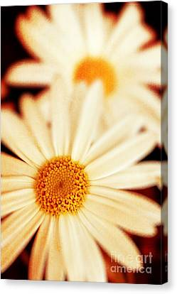 Daisies Canvas Print by Silvia Ganora