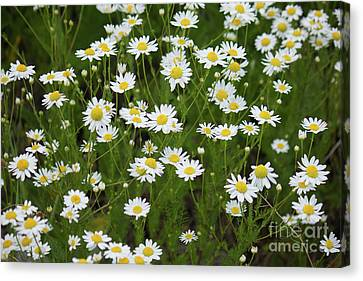 Daisies White And Yellow Canvas Print