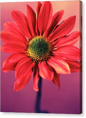 Daisy 1 Canvas Print by Joseph Gerges