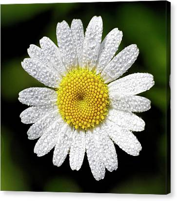 Daisy And Dew Canvas Print by Rob Graham