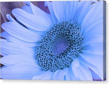 Canvas Print featuring the photograph Daisy Blue by Marie Leslie