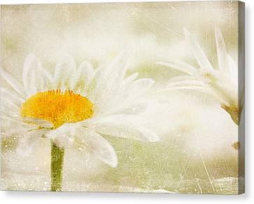 Daisy Canvas Print by Catherine Alfidi