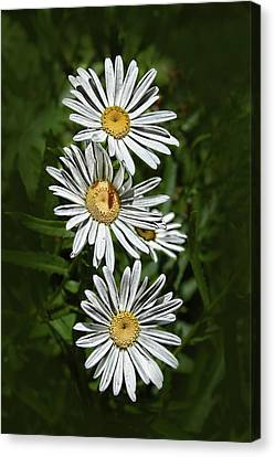 Canvas Print featuring the photograph Daisy Chain by Marie Leslie