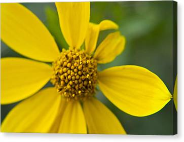 Canvas Print featuring the photograph Daisy Daisy by Daniel Hebard