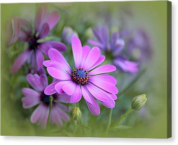 Daisy Dream Canvas Print by Jessica Jenney