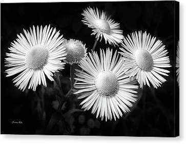 Canvas Print featuring the photograph Daisy Flowers Black And White by Christina Rollo