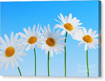 Daisy Flowers On Blue Canvas Print