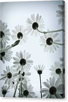 Daisy Flowers Rear View Canvas Print by photograph by Anastasiya Fursova