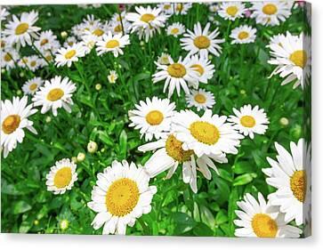 Daisy Garden Canvas Print