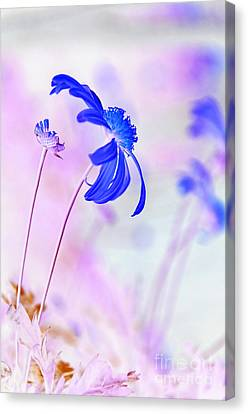 Daisy In Blue Canvas Print by Kaye Menner