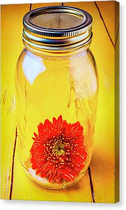 Daisy In Glass Jar Canvas Print by Garry Gay