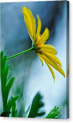 Daisy In The Breeze Canvas Print by Kaye Menner
