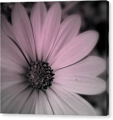 Canvas Print featuring the photograph Daisy by Laura DAddona
