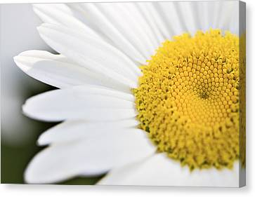 Daisy Canvas Print by Marlo Horne