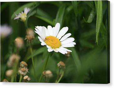 Daisy One Canvas Print by Alan Rutherford