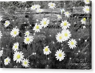 Canvas Print featuring the photograph Daisy Patch by Benanne Stiens