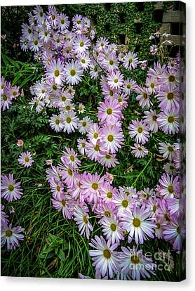 Daisy Patch Canvas Print