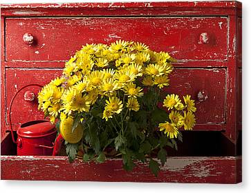 Daisy Plant In Drawers Canvas Print by Garry Gay