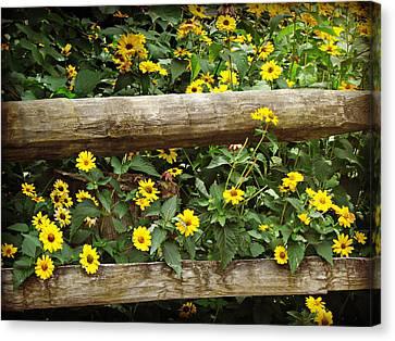 Daisy's Fence Canvas Print