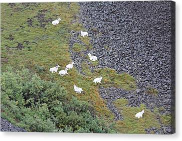 Dall Sheep On A Break Canvas Print by David Wilkinson