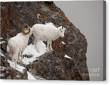 Dall Sheep On A Ledge Canvas Print by Tim Grams