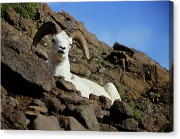 Dall Sheep Canvas Print