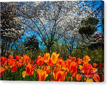 Dallas Arboretum Tulips And Cherries Canvas Print by Inge Johnsson