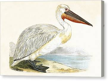 Dalmatian Pelican Canvas Print by English School