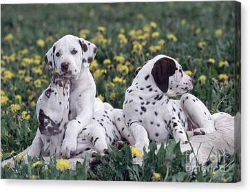 Dog At Play Canvas Print - Dalmatian Puppies Playing In Flowers by Alan Carey