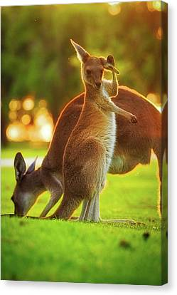 Canvas Print featuring the photograph Damn Flies, Yanchep National Park by Dave Catley