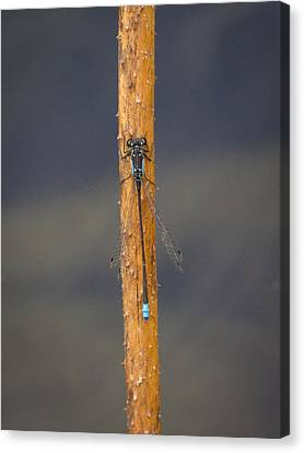 Damsel On A Stick Canvas Print by Jean Noren