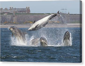Dance Of The Dolphins Canvas Print