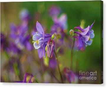 Dance Of The Lavender Columbines Canvas Print by Mike Reid