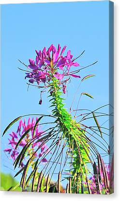 Canvas Print featuring the photograph Dancing Cleome by Debbie Stahre