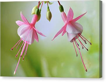 Canvas Print featuring the photograph Dancing Fuchsia by Terence Davis