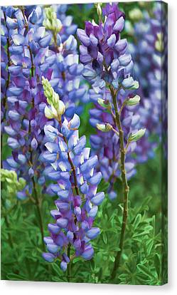 Canvas Print featuring the photograph Dancing Lupines - Spring In Central California by Ram Vasudev
