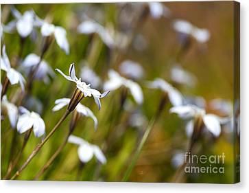 Canvas Print - Dancing Star White Flowers by Joy Watson